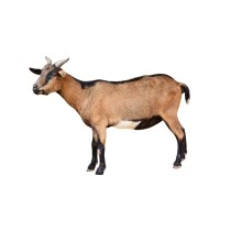 Book Goat For Just £50